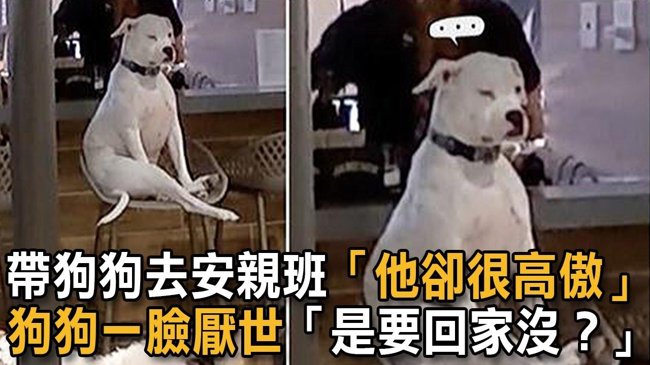 帶狗狗去安親班「他卻很高傲」 狗狗一臉厭世「是要回家沒?」 狗狗故事 安親班