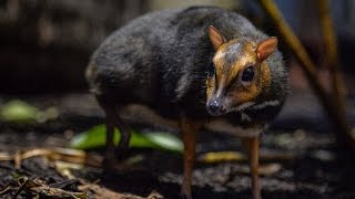 Rare Philippine Mouse Deer Born At Zoo Is The Size Of A Christmas Ornament
