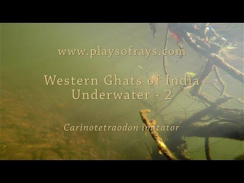 Western Ghats Underwater - 2 Carinotetraodon Imitator