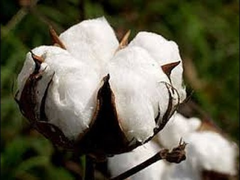 How cotton goes from a plant to a fiber YouTube