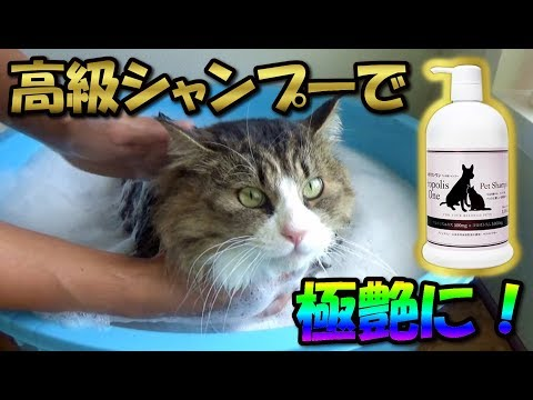 Luxury shampoo makes the boss cat silky smooth and happy!Eng CC