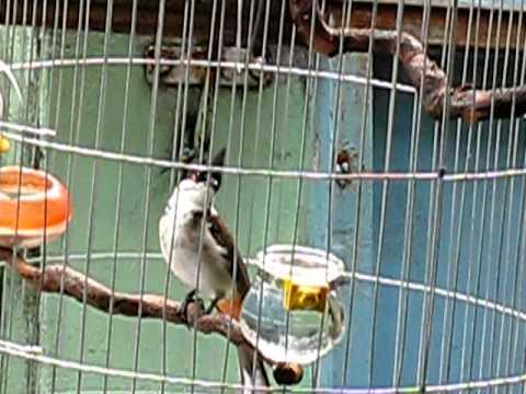 chim chào mào bông cổ cườm
