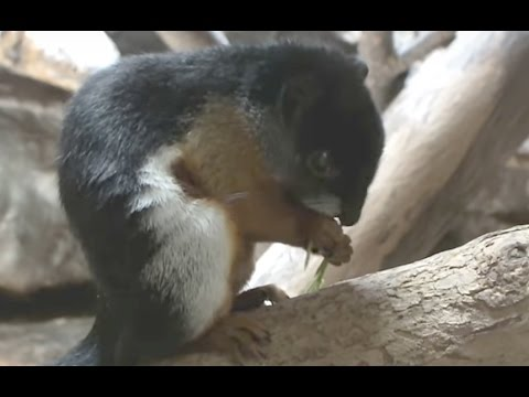 Most beautiful squirrel. Asian Tri-colored Squirrel to eat.最も美しいリス。ミケリスの食事。