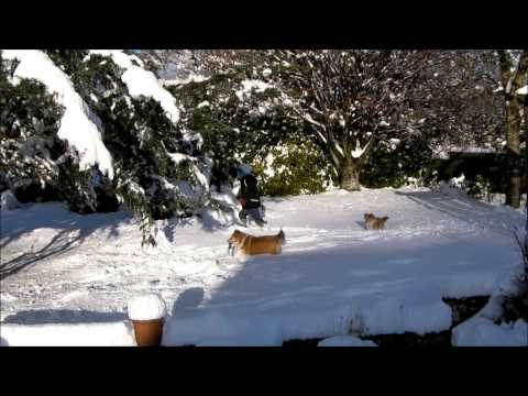 Shetland Sheepdogs (Shelties) playing in the snow 2010