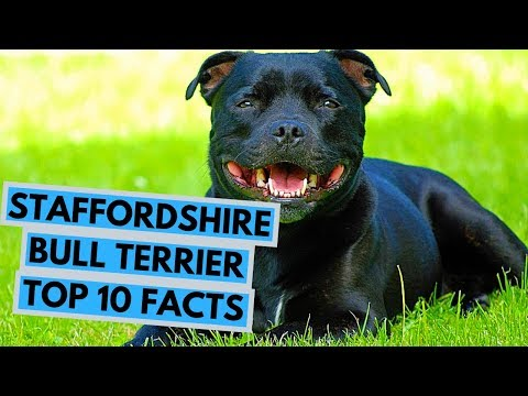 Staffordshire Bull Terrier - TOP 10 Interesting Facts