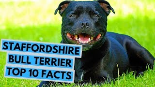 Staffordshire Bull Terrier  TOP 10 Interesting Facts