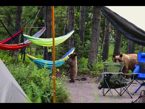 Bears in our Campsite! - Glacier National Park