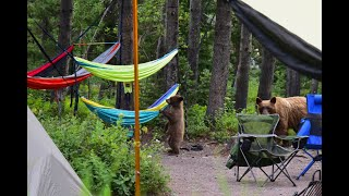 Bears in our Campsite! - Gla¢ier National Park