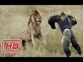 Top 10 Craziest Animal Attacks - Lion, Big Baboon, Jaguar, Buffalo, Snake