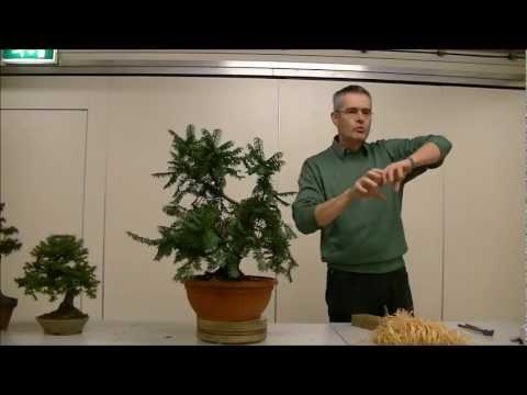 Taxus baccata. Demonstratie Bart Verstappen
