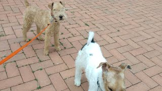Fox terrier  and Lakeland terrier Marshalls and Rifle #foxterrierdog #lakelandterrierdog #ourDogs