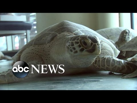 Sea turtles rescued in Texas close to returning to ocean   WNT