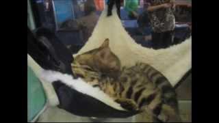 Бенгальские кошки на выставке кошек меня всегда привлекают своей леопардовой окраской и величием!!!