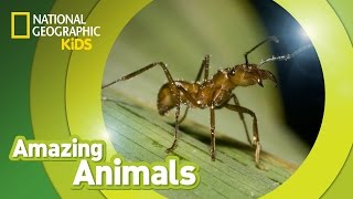 Army Ant 🐜 | Amazing Animals