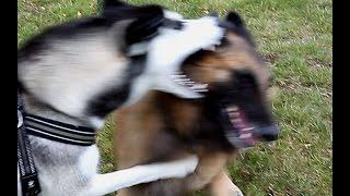 Siberian Husky vs Tervueren  (Belgische herdershond) Belgian Shepherd