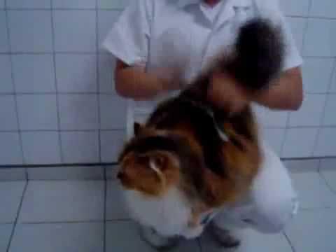 Барабанный кот