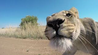 How To Guess A Lion's Age? #AskMeg | The Lion Whisperer