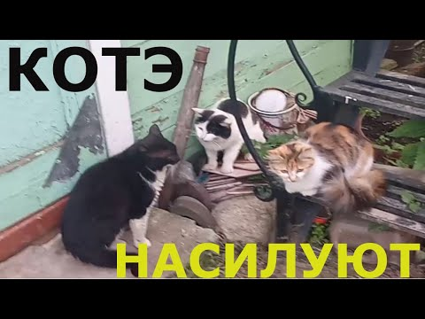 Два кота домогаются до кошки)