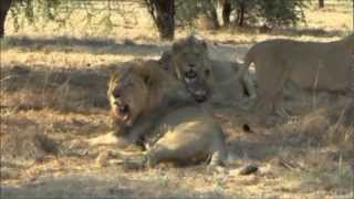 UNDER AFRICAN SKIES LION HUNTING DVD INTRO