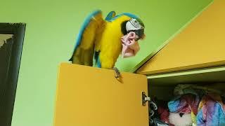 Попугай ара лезет в шкаф