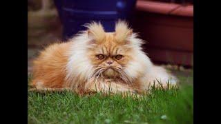 Сибирский котик ловит солнечных зайчиков!