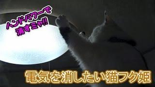 シーリングライトの光が気になる猫フク姫(面白い&可愛い猫) thumbnail
