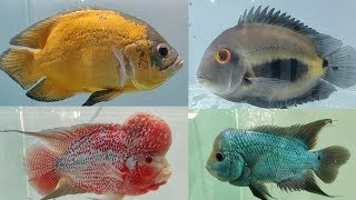 Flowerhorn Fish, Oscar Fish, Arowana Fish at World of Fish
