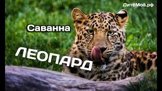 Леопард. Энциклопедия для детей про животных. Саванна