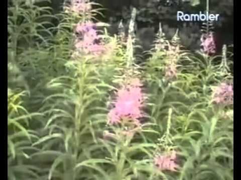 Полезные свойства травы иван чай противопоказания
