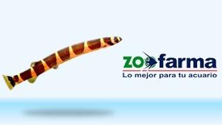 Locha Kuhli - ZOOFARMA Lo Mejor para tu Acuario