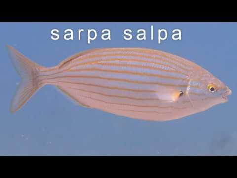 Sarpa Salpa - The Romans' Favorite (Intoxicating) Fish