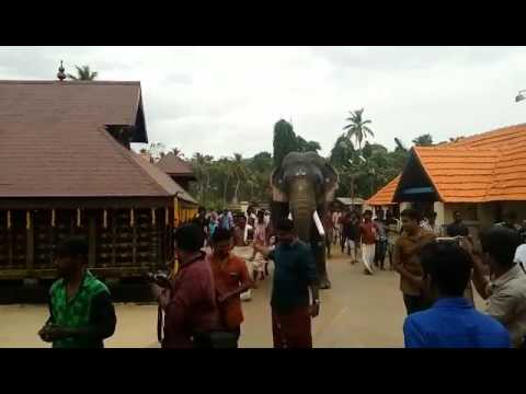 Most beautiful Elephant in Kerala-- Thrikkadavoor Sivaraju