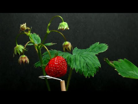 Time Lapse of Strawberry Plant