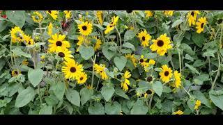 Tham quan hoa , cây cảnh chợ Mỹ