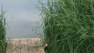 Моя рыбалка Часть 1 Сазан в камышах около берега в Мае