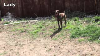 Not Available - Lady - 9-year-old Female German Shorthaired Pointer (gsp)