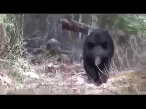 охота на медведя. опасные моменты №1
