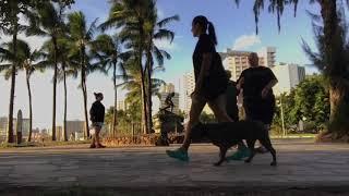 BRONCO 3y American Bulldog Mix   2 Week Board And Train   Hawaii Dog Trainers