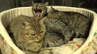 かわいい子猫、猫たちに優しくされて幸せそう。モモはニャーニャー退屈