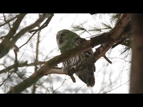Barred Owl   Territorial Call