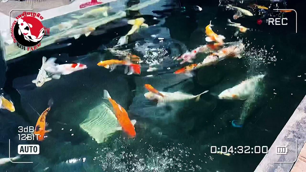 Good koi fish is good food, good filter EPTM.30.MyChannel Koi farmTM🙏🏻Sub🔔 089777709/089888809