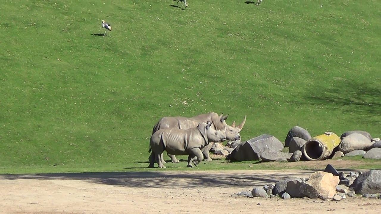 Safari In Ga >> San Diego Zoo's Safari Park Africa Tram ride 2/24/17 - YouTube