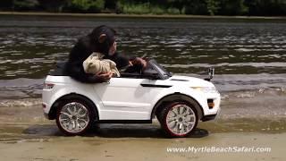 The Fast and the Furry-ous - Chimpanzee Car Race | Myrtle Beach Safari