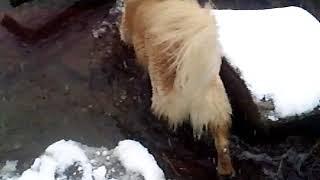 雪の中で小川の散歩GOLDEN RETRIEVER 2010年12月31日 thumbnail