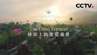 《美丽中国》 梯田上的莲花盛景 | CCTV