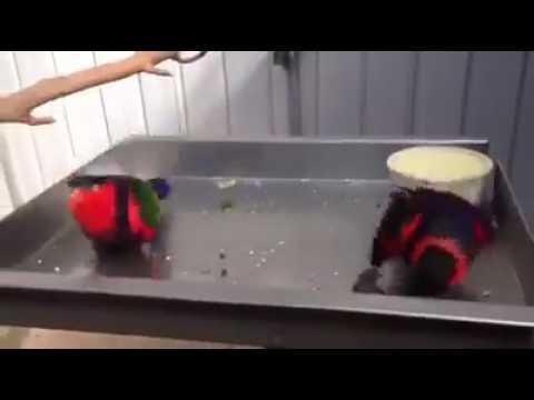 Twee blije vogels, dansende papegaaien