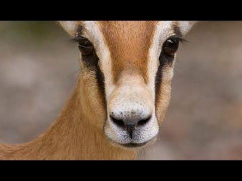 Les gazelles Dorcas - Documentaire animalier