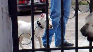 Repeat youtube video Kangal vs Dogo Argentino