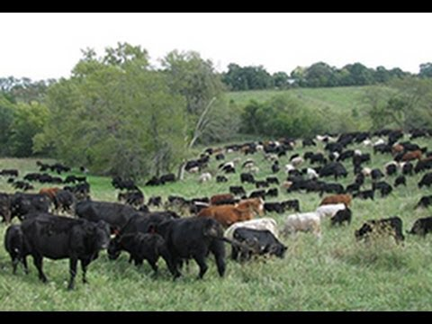 Soil Health and Production Benefits of Mob Grazing