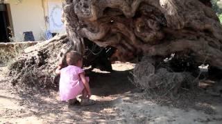Najstarsze drzewo oliwne na świecie (Kreta)